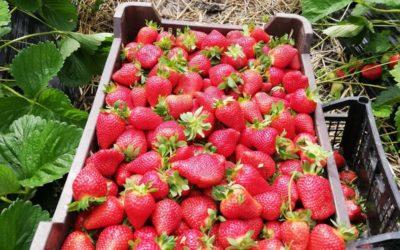 Căpșuni Cenei