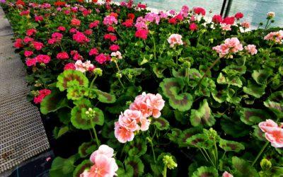 Flori de sezon de la Florăria Crina din Uliuc