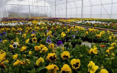 Producator flori în sere Traian-Vuia